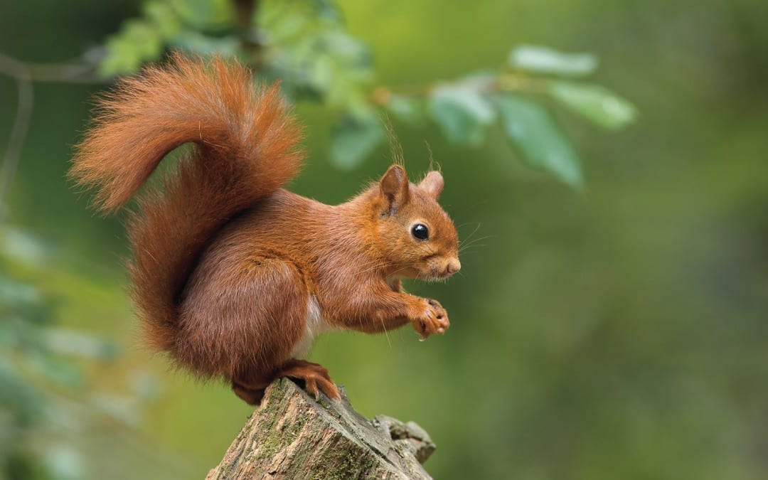 Mid Wales Red Squirrel Partnership