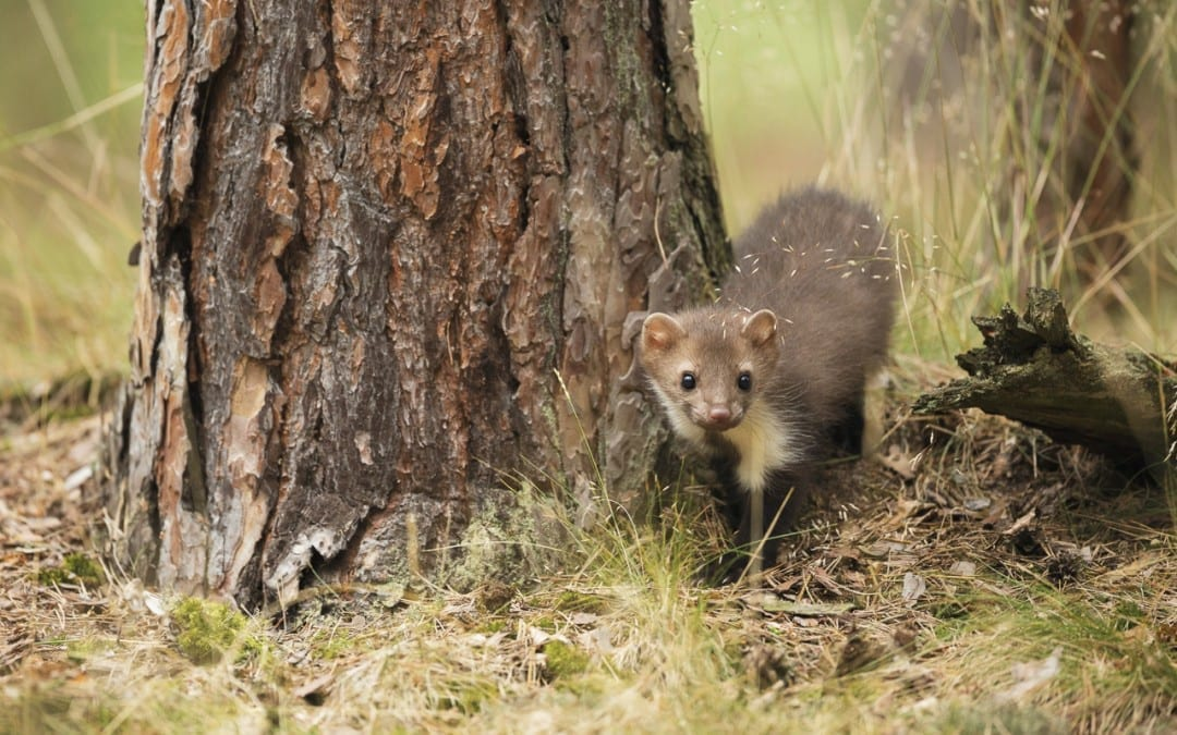 Pine Martens Return to Cambrians