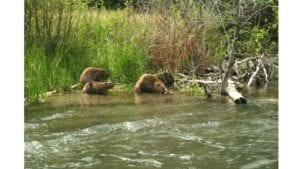 Beaver Update