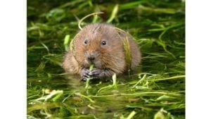 Water voles released in South Wales