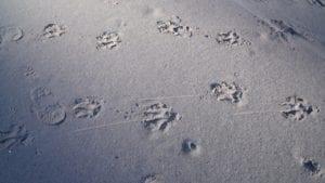 Footprints human and leopard