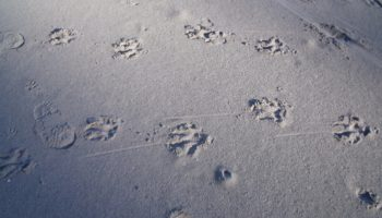 Footprints human and leopard
