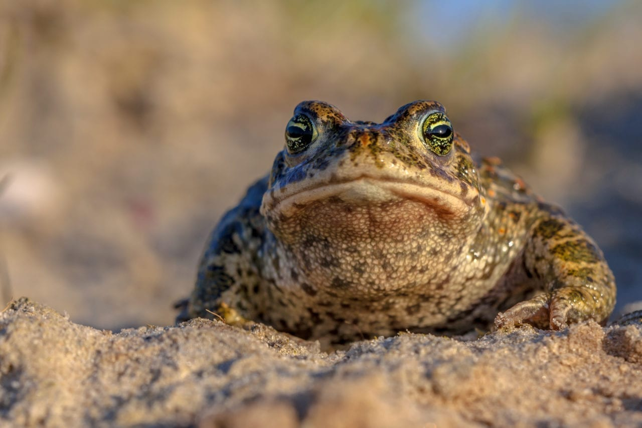 Natterjack toad frontal view