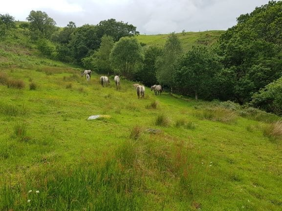 Horses in woodland glade